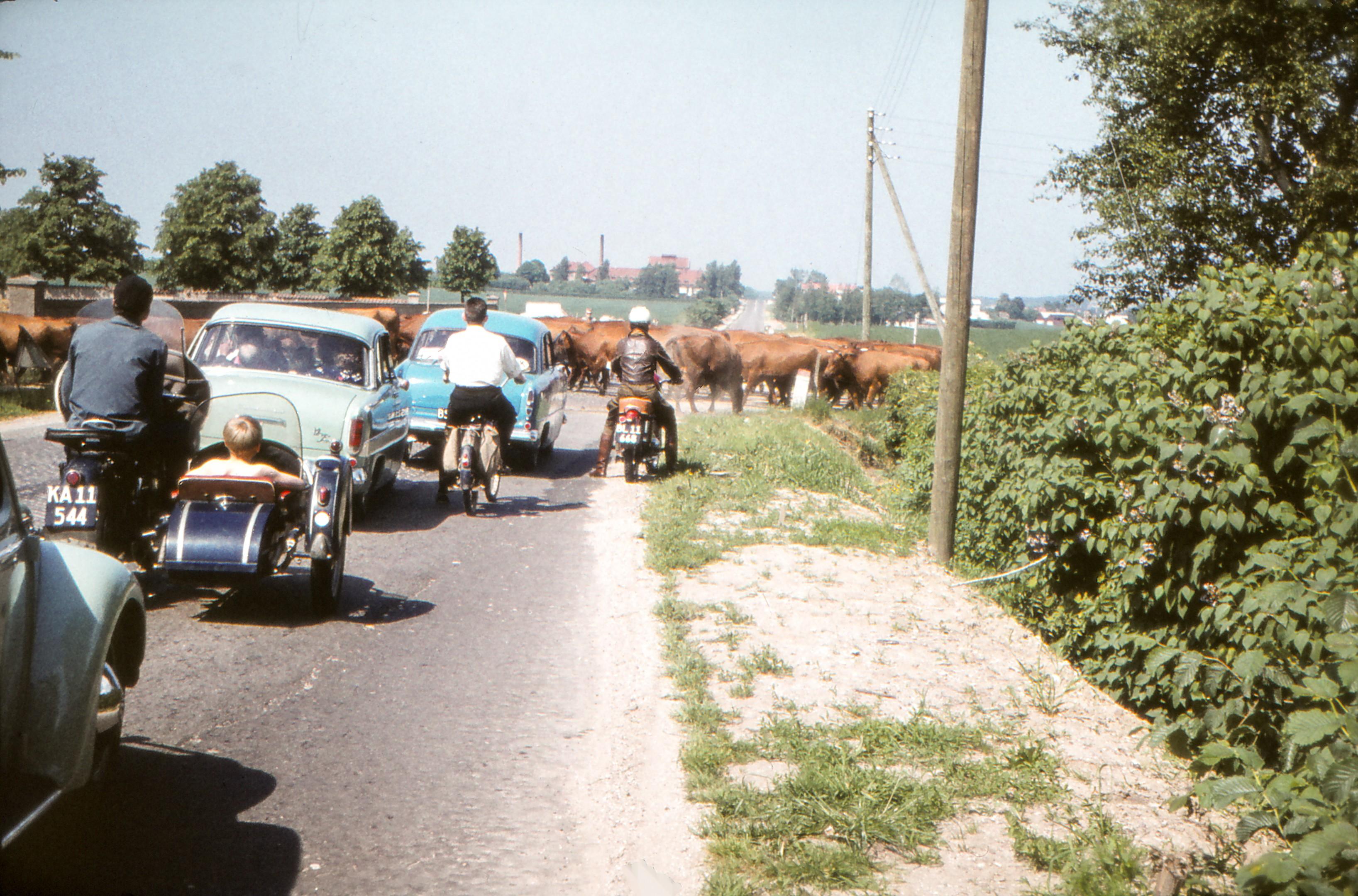 Køer passer Roskildevej og skaber kødannelse, 1962
