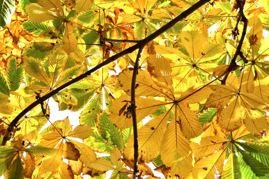 Kastanjetræ i efterårsfarver